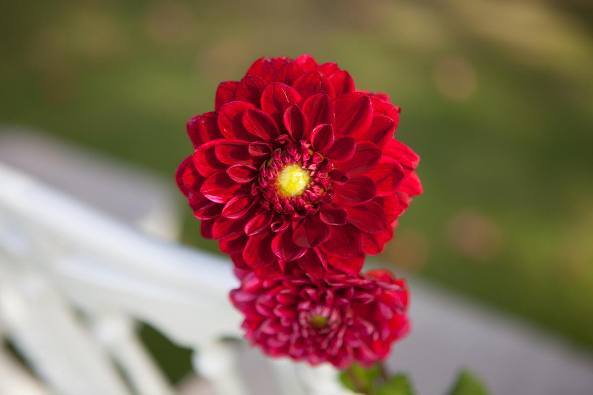 composition florale dahlia par Elisabeth Delsol