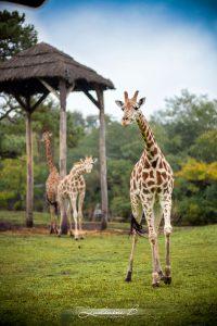 La Girafe De Notre Séance Photo Sur Le Safari.